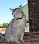 Кот бурмилла сидит на крыше