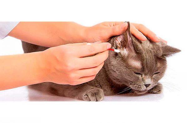 Коту чистят уши