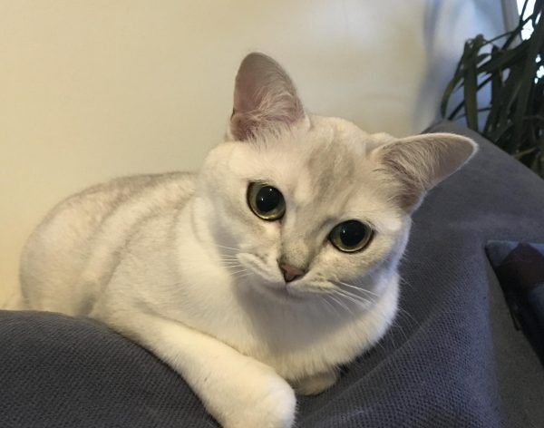 Кошка бурмилла сидит на спинке дивана