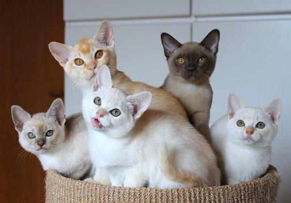 Котята породы бурмилла сидят в корзинке