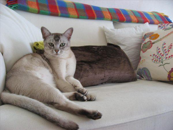 Бурмилла лежит на диване среди подушек