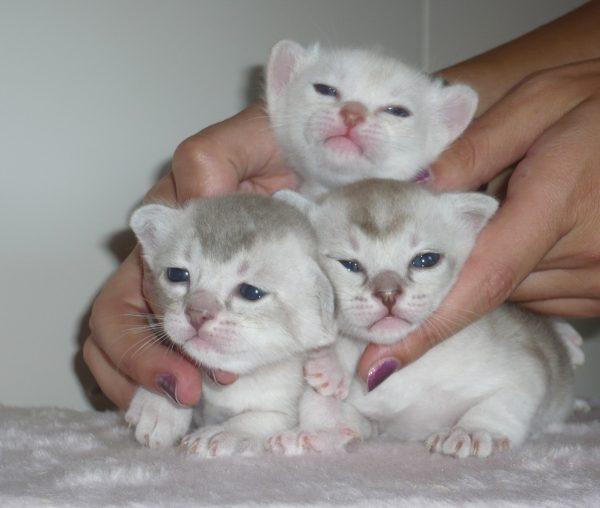 Трое котят породы бурмилла в женских руках