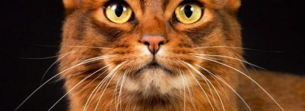 Голова сомалийской кошки, которая смотрит ввысь
