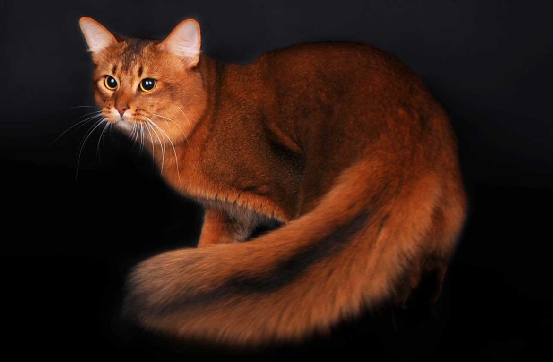 Сомали картинки кошки