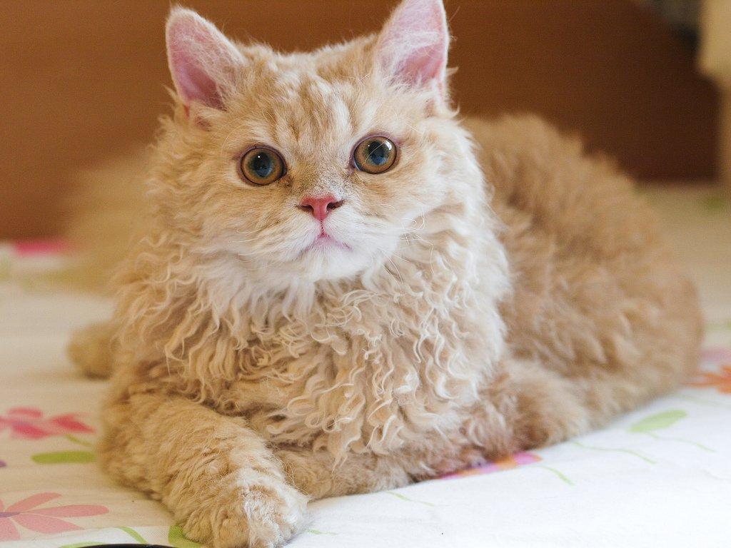 Кудрявый кот фотографии расхожим представлениям
