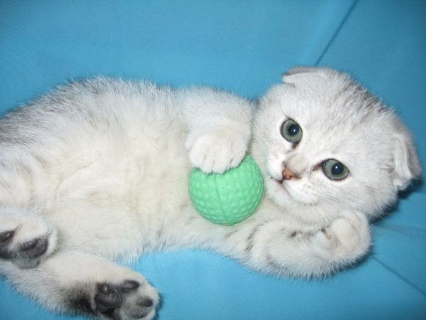 Вислоухий котёнок с мячиком