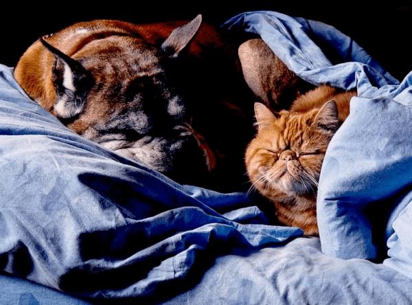 Кот экзот и собака спят