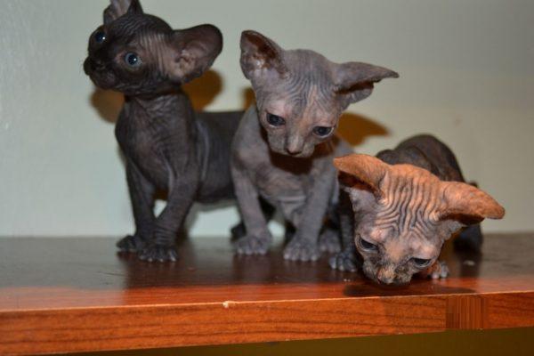 Лысые котята на столе