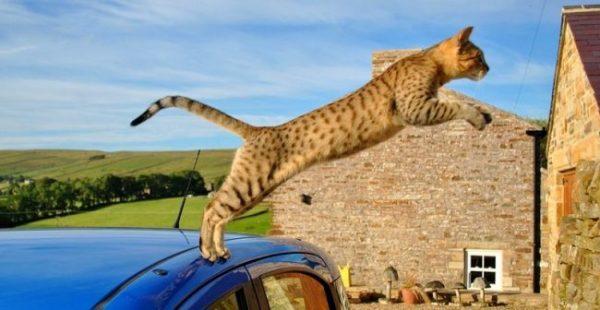 Египетская мау прыгает