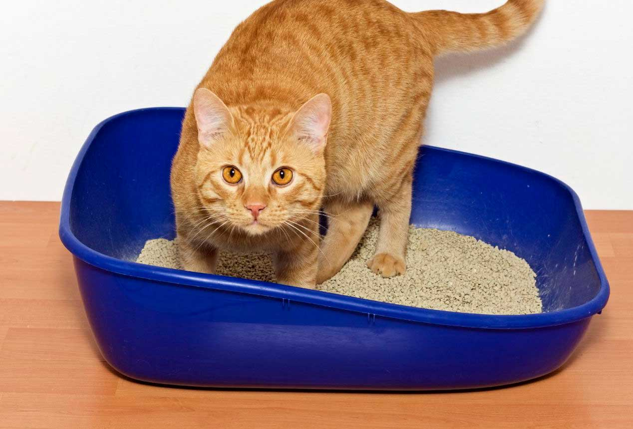 Как приучить кота или кошку к лотку: возможно ли быстро научить ходить в туалет в квартире котят и взрослых животных, советы ветеринара