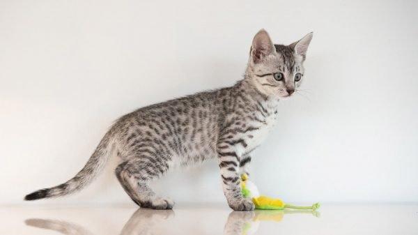 Котёнок мау