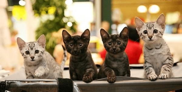 Четыре котёнка мау