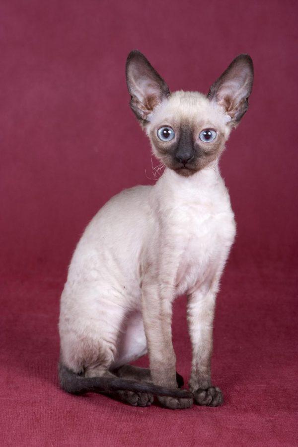 Котёнок си-рекс