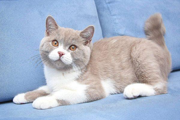 Британская бело-серая кошка на голубом