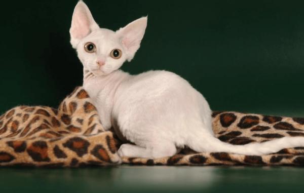 Девон-рекс на леопардовом пледе