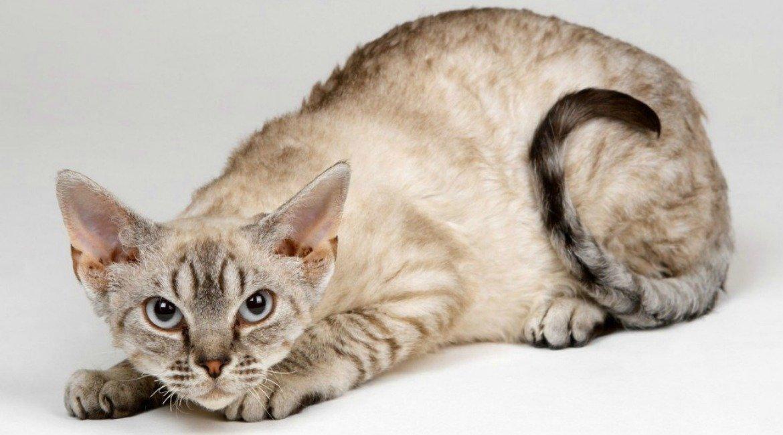 зависимости картинки немецких кошек пачки стручковую