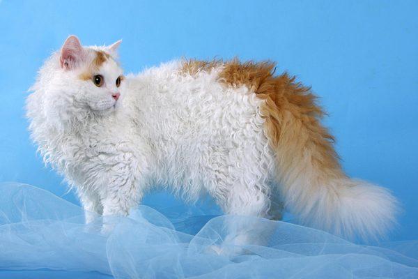 Бело-рыжий селкирк