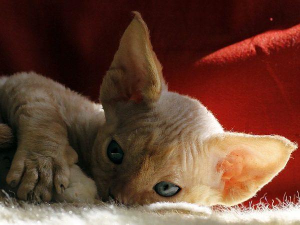 Бежевый котёнок на одеяле