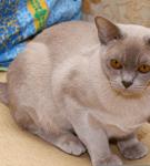 Лиловый бурманский кот