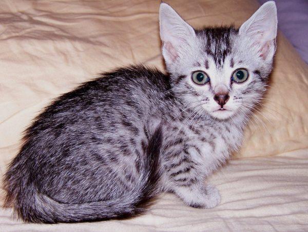 Котёнок египетской мау