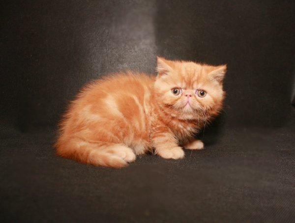 Рыжий котёнок экзот