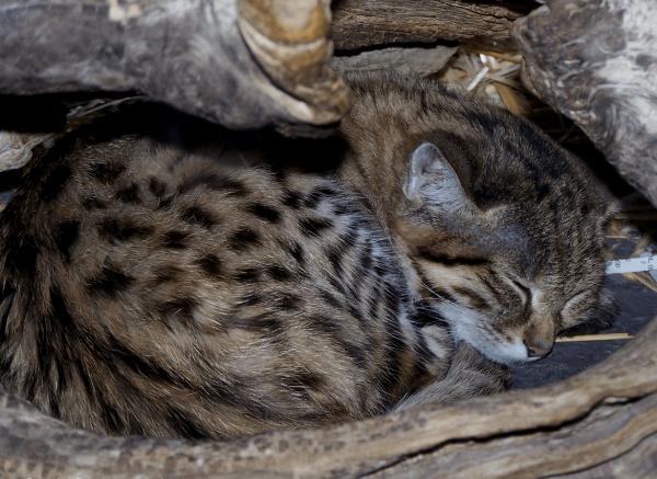 Черноногая кошка спит