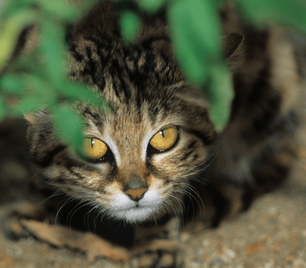 Черноногая кошка в засаде