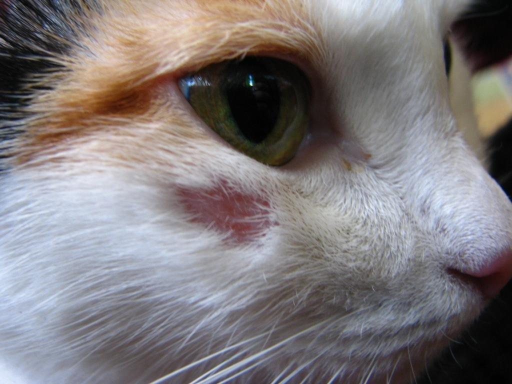 Как выглядит лишай у кошки