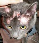 Трихофития у кошки