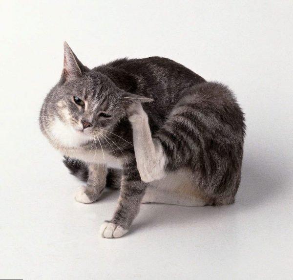 кошка избавляется от блох