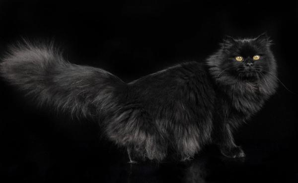 Чёрный сибирский кот