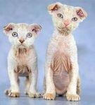 Два кота породы пуделькэт