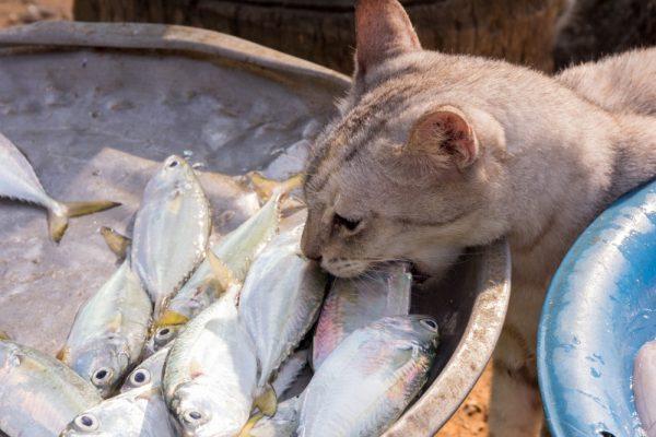 Кошка ест рыбу