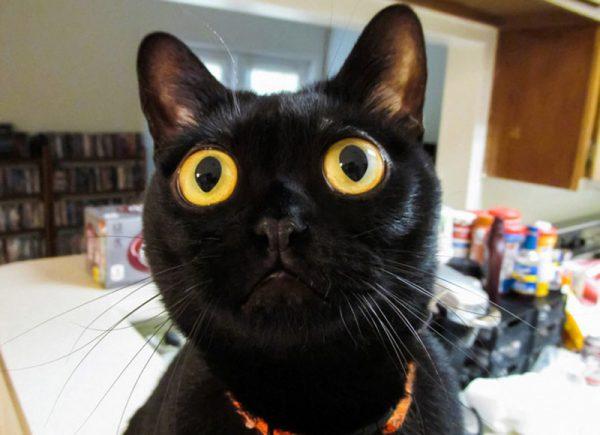 Бомбейская кошка смотрит