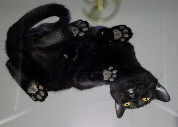 Бомбейская кошка, вид снизу