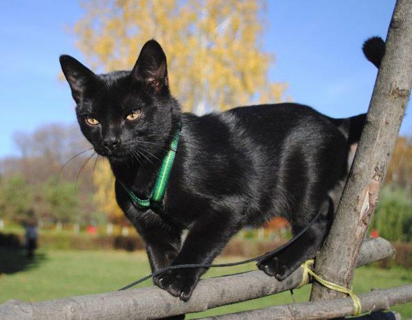 Бомбейская кошка на прогулке