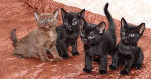 Четыре котёнка бомбейцев