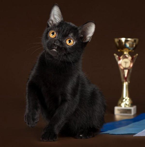 Бомбейская кошка с кубком