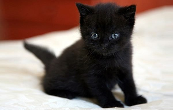 Котёнок бомбея