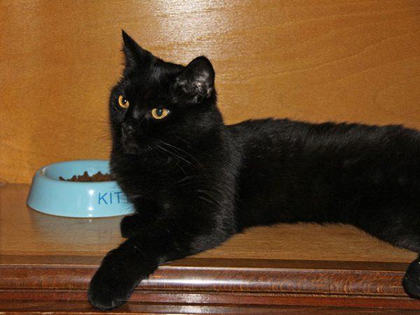 Бомбейская кошка возле миски
