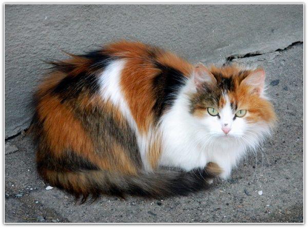 Трёхцветная сибирская кошка сидит на асфальте