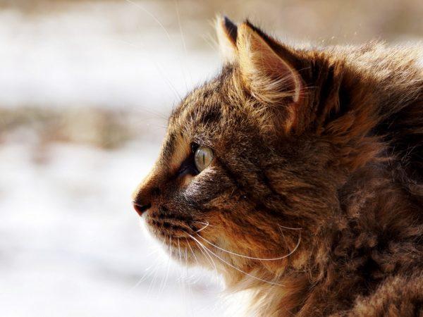 Пушистая морда кошки в профиль