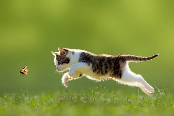 Котёнок прыгает за бабочкой на лужайке