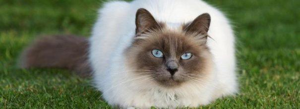 Бирманский кот лежит на траве