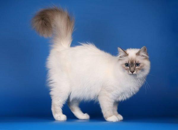 Бирманский кот стоит на синем фоне