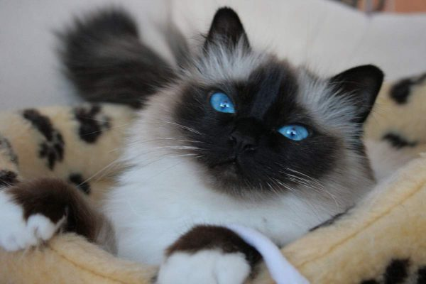 Бирманская кошка лежит в кошачьей корзинке