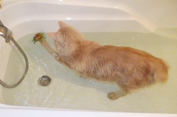 Бобтейл рыжего окраса купается в ванной