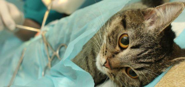 Кошка на операционном столе