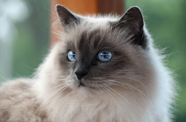 Голова бирманской кошки, сидящей на окне