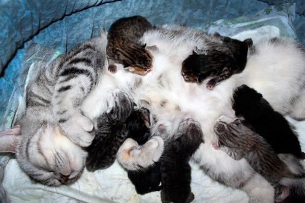 Кошка и семь новорождённых котят